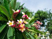 Δέντρο λουλουδιών Frangipani, λουλούδια plumeria Στοκ Εικόνες