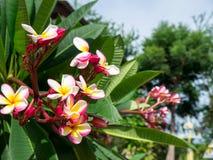 Δέντρο λουλουδιών Frangipani, λουλούδια plumeria Στοκ Φωτογραφία