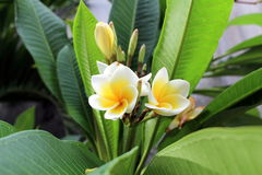 Δέντρο λουλουδιών Frangipani, λουλούδι plumeria άσπρο και κίτρινο με τα φύλλα Στοκ Εικόνες