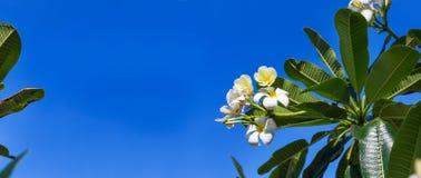 Δέντρο λουλουδιών lilawadee plumeria frangipani ανθών Στοκ Εικόνες
