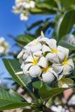 Δέντρο λουλουδιών lilawadee plumeria frangipani ανθών Στοκ Φωτογραφία