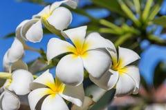 Δέντρο λουλουδιών lilawadee plumeria frangipani ανθών Στοκ Εικόνα
