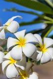Δέντρο λουλουδιών lilawadee plumeria frangipani ανθών Στοκ Φωτογραφίες