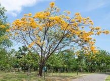 Δέντρο λουλουδιών Peacock στοκ εικόνες με δικαίωμα ελεύθερης χρήσης