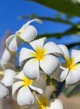 Δέντρο λουλουδιών plumeria frangipani ανθών Στοκ εικόνες με δικαίωμα ελεύθερης χρήσης