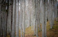 Δέντρο ο Καρπάθιος Forrest σημύδων στοκ φωτογραφία με δικαίωμα ελεύθερης χρήσης