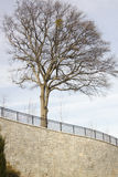 Δέντρο πάνω από τον πέτρινο τοίχο Στοκ Εικόνα