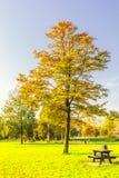 Δέντρο πάρκων Hornbeam στα χρώματα φθινοπώρου που φυτεύεται σε έναν χορτοτάπητα στοκ εικόνες με δικαίωμα ελεύθερης χρήσης