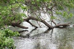 Δέντρο πέρα από τη βύθιση λιμνών στο νερό στοκ εικόνες