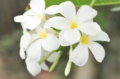 Δέντρο παγοδών, λουλούδι plumeria Στοκ φωτογραφίες με δικαίωμα ελεύθερης χρήσης