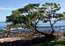 Δέντρο παραλιών σε Maui Στοκ Εικόνες