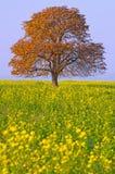 δέντρο πεδίων κάστανων Στοκ φωτογραφία με δικαίωμα ελεύθερης χρήσης