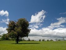 δέντρο πεδίων κερασιών ανθ Στοκ Εικόνα