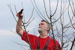 Δέντρο περικοπής ατόμων στον οπωρώνα Στοκ Εικόνες
