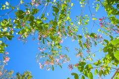 Δέντρο πεταλούδων, δέντρο ορχιδεών, πορφυρό Bauhinia στοκ εικόνες με δικαίωμα ελεύθερης χρήσης