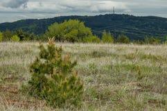 Δέντρο πεύκων ή πεύκων με τη νέα άκρη στην άνοιξη, βουνό Plana Στοκ Εικόνες