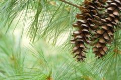 δέντρο πεύκων ανασκόπησης στοκ εικόνες