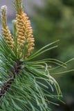 Δέντρο πεύκων ανθών Στοκ Εικόνες