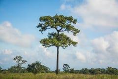 Δέντρο πεύκων δέντρων πεύκων στην Ταϊλάνδη Στοκ φωτογραφία με δικαίωμα ελεύθερης χρήσης