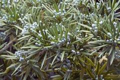 Δέντρο πεύκων δαμάσκηνων Yew με τους κώνους Στοκ Εικόνες
