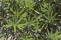 Δέντρο πεύκων δαμάσκηνων Yew με τους κώνους Στοκ φωτογραφία με δικαίωμα ελεύθερης χρήσης