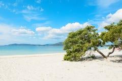 Δέντρο πεύκων θαλασσίως στην ακτή Alghero Στοκ Φωτογραφία