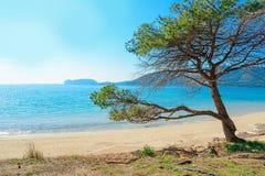 Δέντρο πεύκων θαλασσίως στην παραλία Mugoni Στοκ εικόνες με δικαίωμα ελεύθερης χρήσης