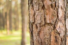 Δέντρο πεύκων και ανοικτό πορτοκαλί όμορφο δάσος πεύκων Στοκ εικόνα με δικαίωμα ελεύθερης χρήσης