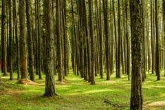Δέντρο πεύκων και ανοικτό πορτοκαλί όμορφο δάσος πεύκων Στοκ φωτογραφία με δικαίωμα ελεύθερης χρήσης