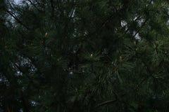 Δέντρο πεύκων και καρύδια πεύκων Στοκ εικόνα με δικαίωμα ελεύθερης χρήσης
