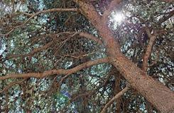 Δέντρο πεύκων και κώνος πεύκων Στοκ Εικόνες