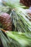 δέντρο πεύκων καρυδιών κλά&d στοκ φωτογραφίες με δικαίωμα ελεύθερης χρήσης