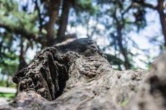 Δέντρο πεύκων κορμών με μια τρύπα στις ρίζες Στοκ φωτογραφίες με δικαίωμα ελεύθερης χρήσης