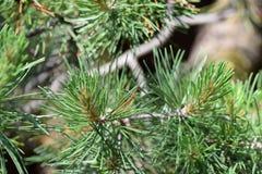 Δέντρο πεύκων μέσα Στοκ Εικόνες