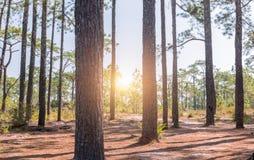 Δέντρο πεύκων μίσχων στο δάσος πεύκων με την ανατολή Στοκ Εικόνα