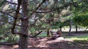 Δέντρο πεύκων με τα όπλα Στοκ Φωτογραφία