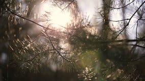 Δέντρο πεύκων με τη φλόγα φακών απόθεμα βίντεο