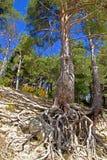 Δέντρο πεύκων με τις επιπλέουσες ρίζες στοκ φωτογραφία