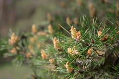 Δέντρο πεύκων με τους πράσινους κλάδους πεύκων Φύλλα βελόνων δέντρων πεύκων closeup Στοκ εικόνες με δικαίωμα ελεύθερης χρήσης