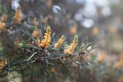 Δέντρο πεύκων με τους πράσινους κλάδους πεύκων Φύλλα βελόνων δέντρων πεύκων closeup Στοκ φωτογραφία με δικαίωμα ελεύθερης χρήσης