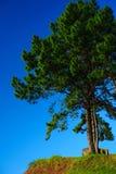 Δέντρο πεύκων με το σαφή μπλε ουρανό στοκ εικόνα με δικαίωμα ελεύθερης χρήσης