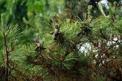 Δέντρο πεύκων με το σπόρο πεύκων στο δέντρο Στοκ εικόνα με δικαίωμα ελεύθερης χρήσης