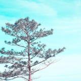 Δέντρο πεύκων με το υπόβαθρο ουρανού Στοκ Εικόνα