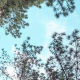 Δέντρο πεύκων με το υπόβαθρο ουρανού Στοκ φωτογραφία με δικαίωμα ελεύθερης χρήσης