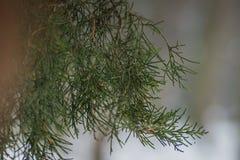Δέντρο πεύκων με το χιόνι επάνω μέσα με το σπόρο στον κλάδο στοκ φωτογραφία με δικαίωμα ελεύθερης χρήσης