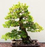 Δέντρο πεύκων μπονσάι στα πράσινα και κίτρινα χρώματα Στοκ φωτογραφία με δικαίωμα ελεύθερης χρήσης