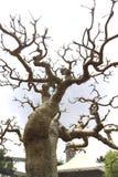 Δέντρο πεύκων μπονσάι Στοκ Εικόνα