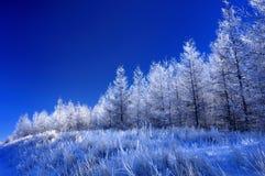 δέντρο πεύκων παγετού Στοκ Εικόνες