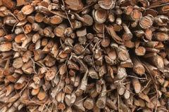 Δέντρο πεύκων περικοπών μέσα σε μια ιταλική δασική διατομή ενός νέου δέντρου πεύκων Στοκ φωτογραφία με δικαίωμα ελεύθερης χρήσης