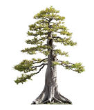 Δέντρο πεύκων, που απομονώνεται Στοκ Φωτογραφία